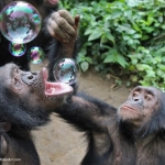 Robin-Huffman-Bubble-chimps-photograph-Ape-Action-Africa