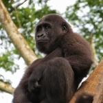 Robin-Huffman-Chickaboo-gorilla-orphan-photograph-Ape-Action-Africa