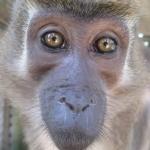 Robin-Huffman-Emily-agile-mangabey-monkey-photograph-Ape-Action-Africa