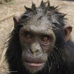 Robin-Huffman-Muddy-Ronny-photograph-chimp-Ape-Action-Africa