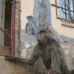 Robin-Huffman-Vader-Big-Joe-chacma-baboon-CARE-painting