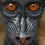 Robin-Huffman-Dylan-acrylic-painting-mandrill-orphan-Ape-Action-Africa-Cameroon
