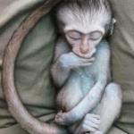 Robin-Huffman-Ayla-vervet-sleeps-photograph-orphan-monkey-VMF