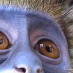 Robin-Huffman-Diva-photograph-moustached-monkey-Ape-Action-Africa