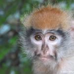 Robin-Huffman-Frida-patas-monkey-orphan-photograph-Ape-Action-Africa