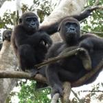 Robin-Huffman-Gorilla-girls-photograph-Ape-Action-Africa