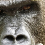 Robin-Huffman-Kibu-gorilla-photograph-Ape-Action-Africa