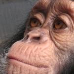 Robin-Huffman-Leyley-chimp-orphan-photograph-Ape-Action-Africa