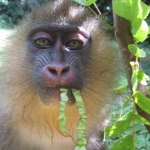 Robin-Huffman-Maggie-May-mandrill-orphan-photograph-Ape-Action-Africa
