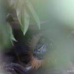 Robin-Huffman-Mavis-mandrill-orphan-photograph-Ape-Action-Africa
