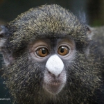 Robin-Huffman-Maxie-putty-nosed-monkey-orphan-photograph-Ape-Action-Africa