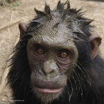 Robin-Huffman-Muddy-Ronny-photograph-chimp-Ape-Action-Africa
