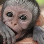 Robin-Huffman-Pippin-vervet-monkey-orphan-photograph-VMF