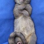 Robin-Huffman-Rafiki-Sleeps-civet-orphan-photograph-Ape-Action-Africa