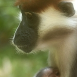 Robin-Huffman-Redcap-mangabey-monkey-and-baby-photograph-Ape-Action-Africa