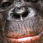 Robin-Huffman-Rocky-chimp-photograph-Ape-Action-Africa