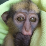 Robin-Huffman-Sherlock-crowned-guenon-monkey-orphan-photograph-Ape-Action-Africa