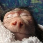 Robin-Huffman-Sunshine-Sleeps-olive-baboon-orphan-photograph-Ape-Action-Africa