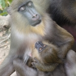 Robin-Huffman-Bella-and-Baby-photograph-mandrill-Ape-Action-Africa