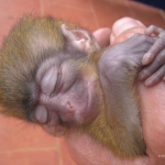 Robin-Huffman-Yoda-Sleeps-talapoin-monkey-orphan-photograph-Ape-Action-Africa