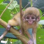 Robin-Huffman-Yoda-talapoin-monkey-orphan-photograph-Ape-Action-Africa